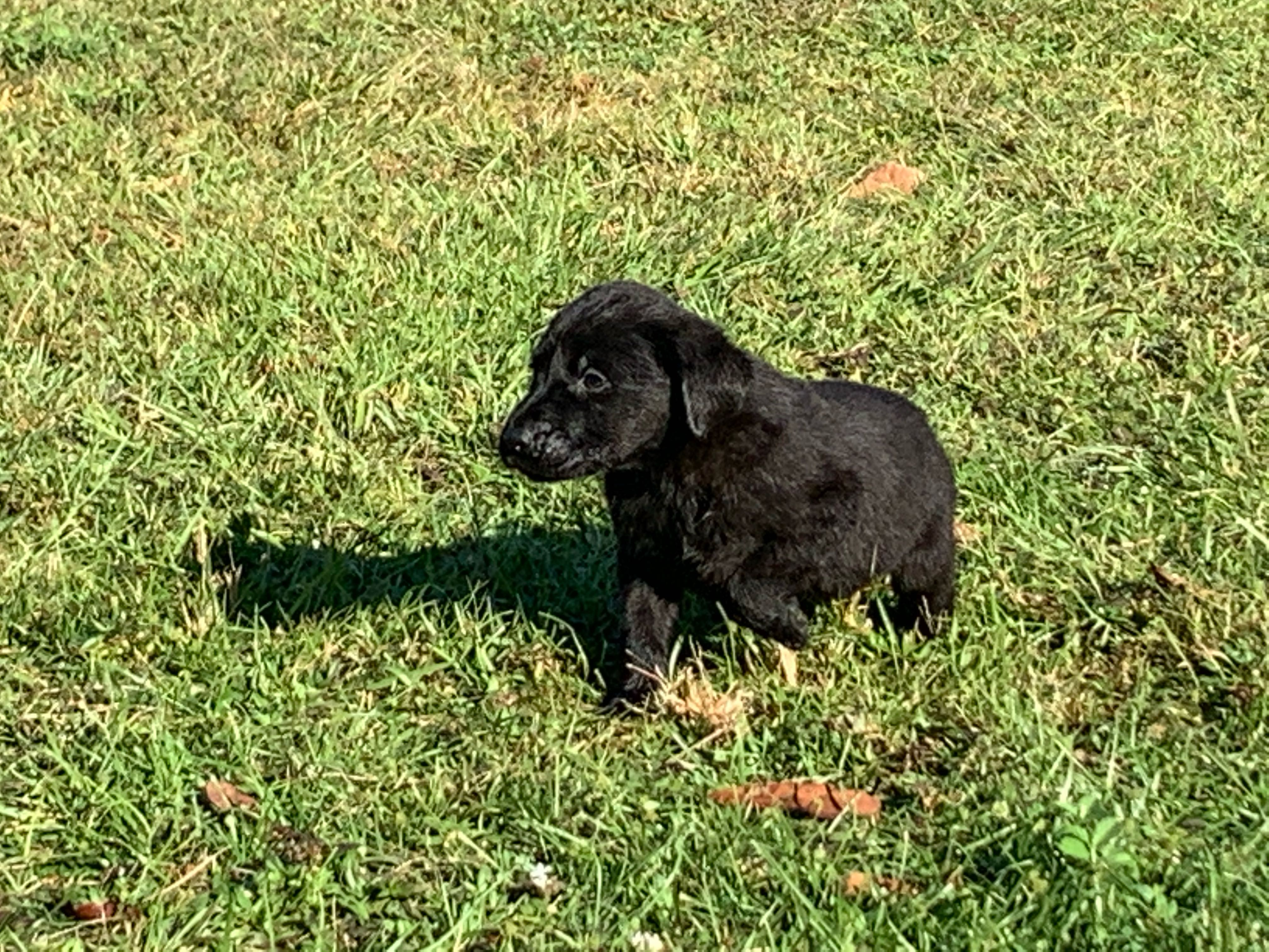 Irish/British Labrador Puppy Leo - Ace's Retrievers
